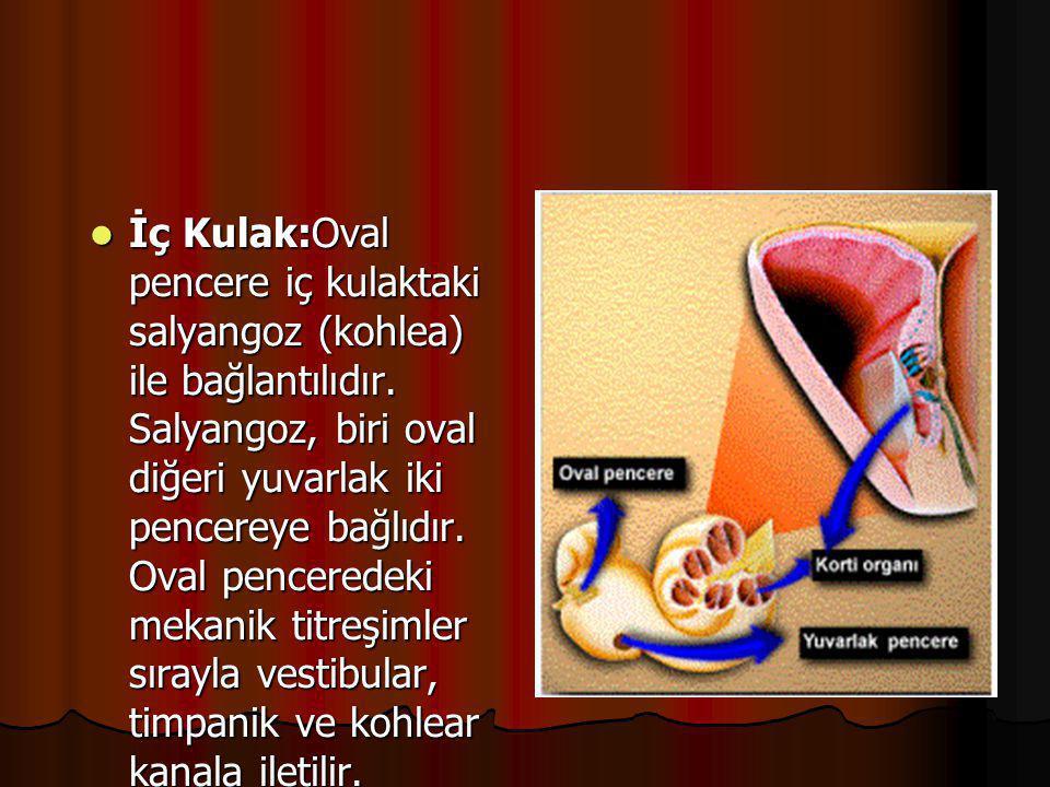  Dış Kulak:Kulak kepçesi ve kulak yolundan oluşur. İç kulak zarına kadar olan bölümdür.  Orta Kulak:Kulak zarındaki titreşimler çekiç, örs ve üzengi