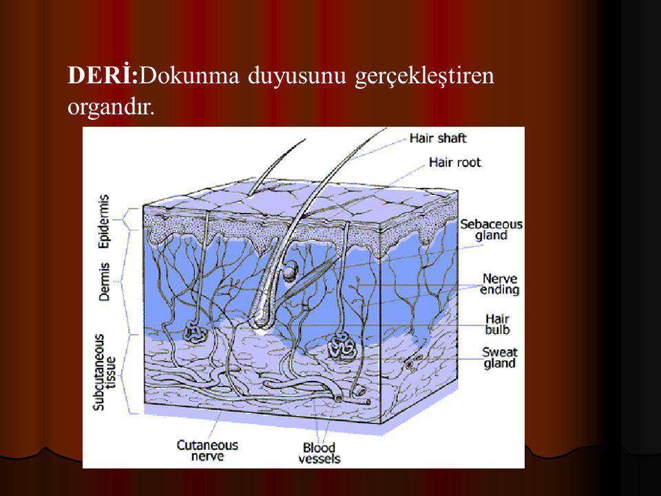  BURUN:Kokuyu algılayan organdır. Burnun üst tarafındaki sarı bölgedeki koku reseptörleri, mukus içinde eriyen tanecikleri algılayarak koku soğancığı