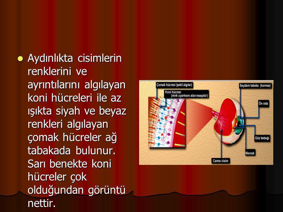  Ağ Tabaka(Retina): Sinirlerin ve ışığa karşı hassas reseptörlerin bulunduğu tabakadır.