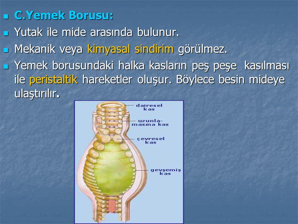  C.Yemek Borusu:  Yutak ile mide arasında bulunur.