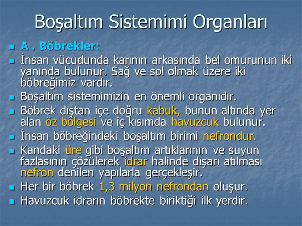 Boşaltım Sistemimi Organları  A.