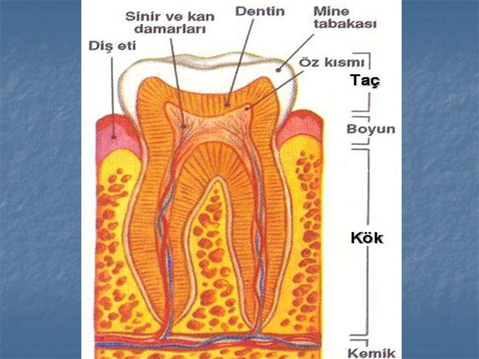   B.Damar tabaka :   Sert tabakanın altında bulunur.