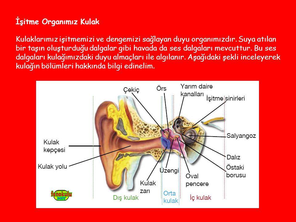 İşitme Organımız Kulak Kulaklarımız işitmemizi ve dengemizi sağlayan duyu organımızdır.