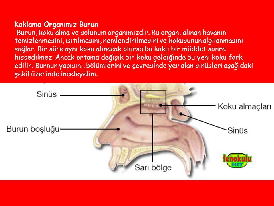 Koklama Organımız Burun Burun, koku alma ve solunum organımızdır.