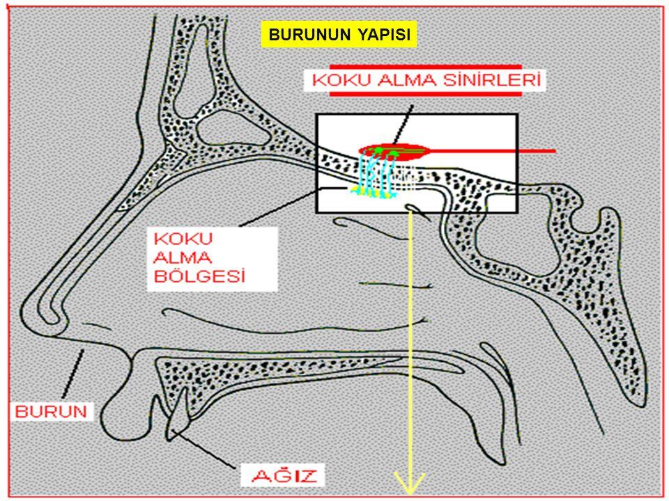BURUNUN YAPISI