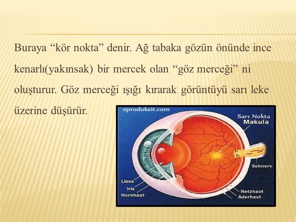 """Buraya """"kör nokta"""" denir. Ağ tabaka gözün önünde ince kenarlı(yakınsak) bir mercek olan """"göz merceği"""" ni oluşturur. Göz merceği ışığı kırarak görüntüy"""