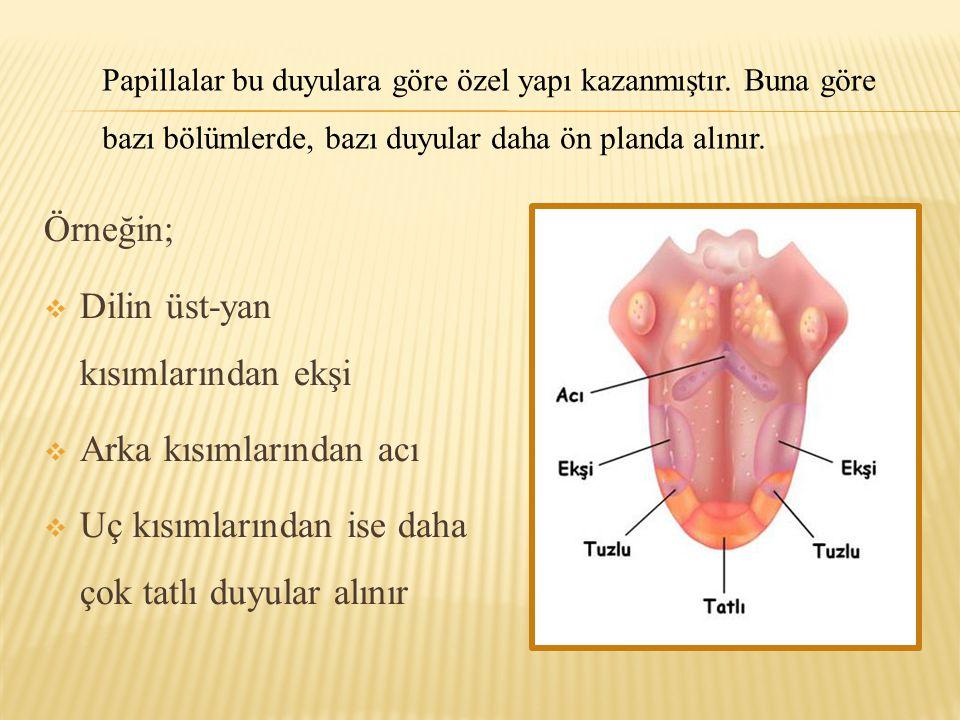 Örneğin;  Dilin üst-yan kısımlarından ekşi  Arka kısımlarından acı  Uç kısımlarından ise daha çok tatlı duyular alınır Papillalar bu duyulara göre