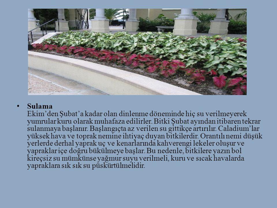 • Sulama Ekim'den Şubat'a kadar olan dinlenme döneminde hiç su verilmeyerek yumrular kuru olarak muhafaza edilirler. Bitki Şubat ayından itibaren tekr