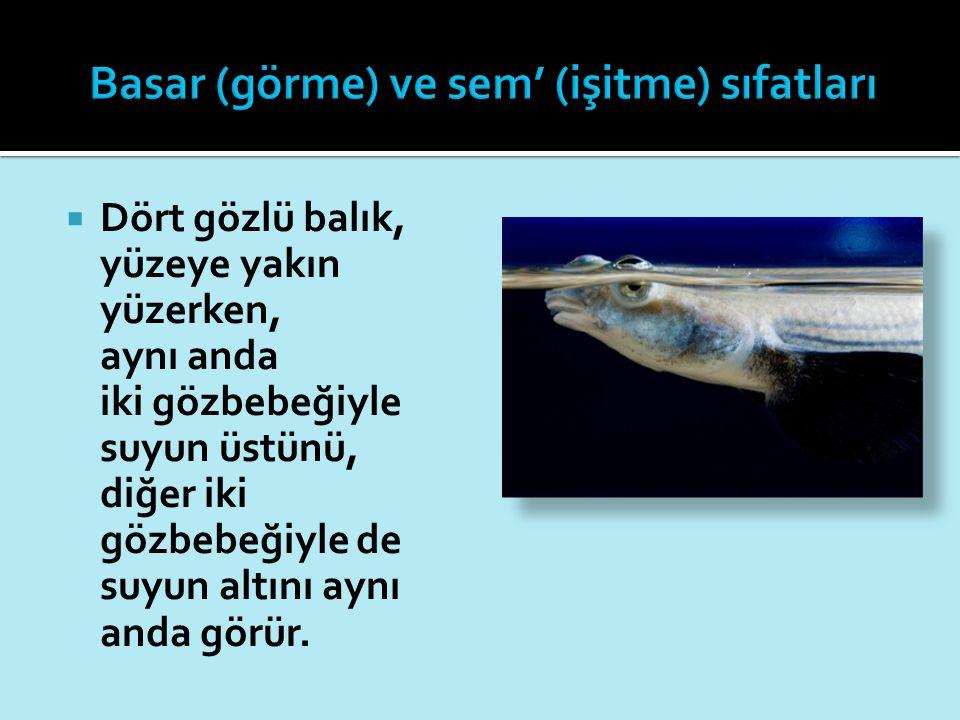  Dört gözlü balık, yüzeye yakın yüzerken, aynı anda iki gözbebeğiyle suyun üstünü, diğer iki gözbebeğiyle de suyun altını aynı anda görür.
