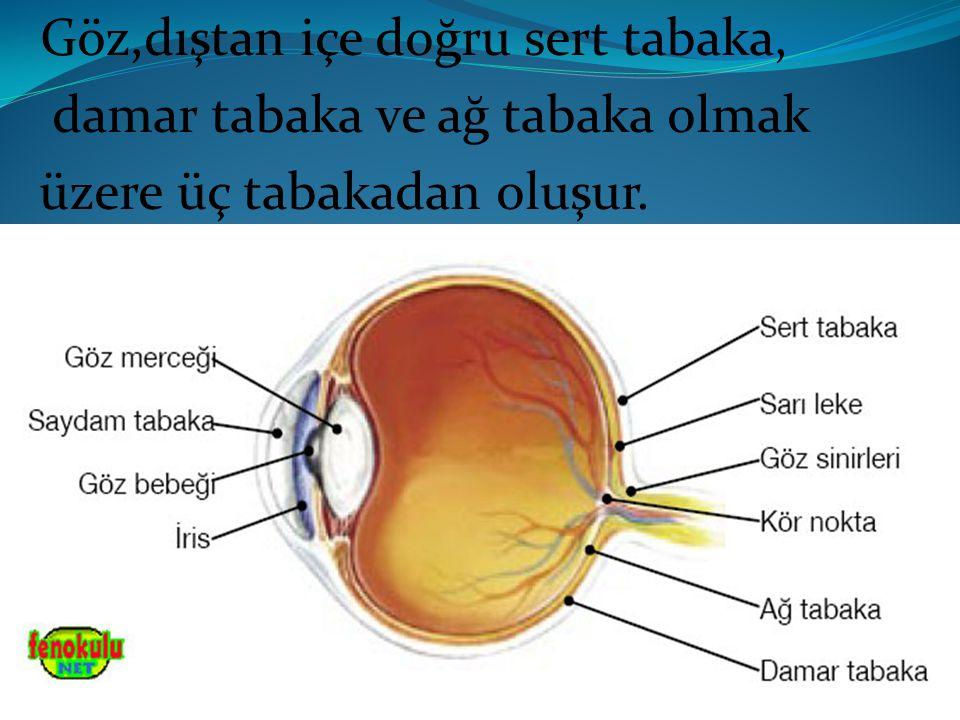 Göz,dıştan içe doğru sert tabaka, damar tabaka ve ağ tabaka olmak üzere üç tabakadan oluşur.