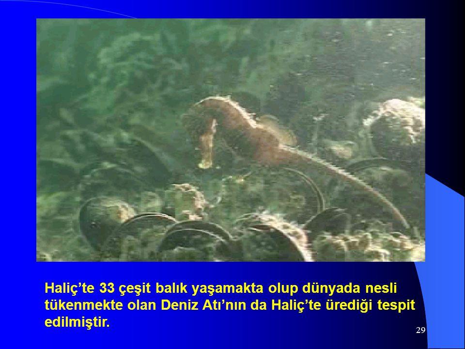 29 Haliç'te 33 çeşit balık yaşamakta olup dünyada nesli tükenmekte olan Deniz Atı'nın da Haliç'te ürediği tespit edilmiştir.