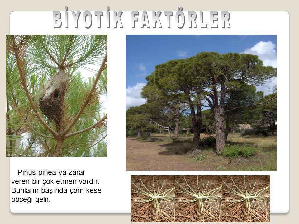 Pinus pinea ya zarar veren bir çok etmen vardır. Bunların başında çam kese böceği gelir.
