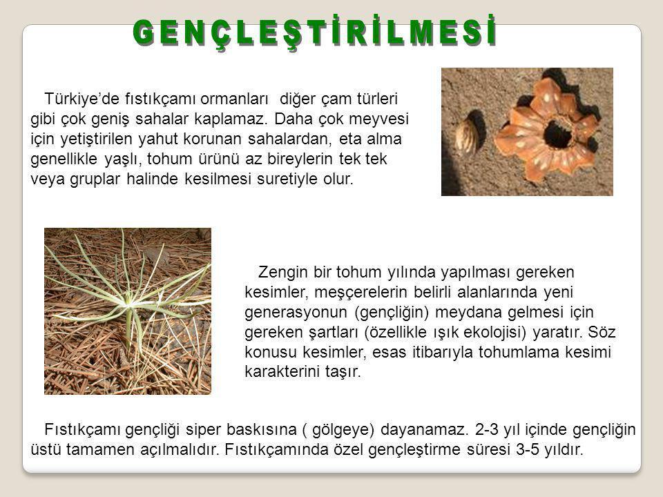 Türkiye'de fıstıkçamı ormanları diğer çam türleri gibi çok geniş sahalar kaplamaz. Daha çok meyvesi için yetiştirilen yahut korunan sahalardan, eta al