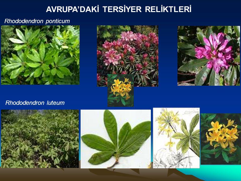 AVRUPA'DAKİ TERSİYER RELİKTLERİ Rhododendron ponticum Rhododendron luteum