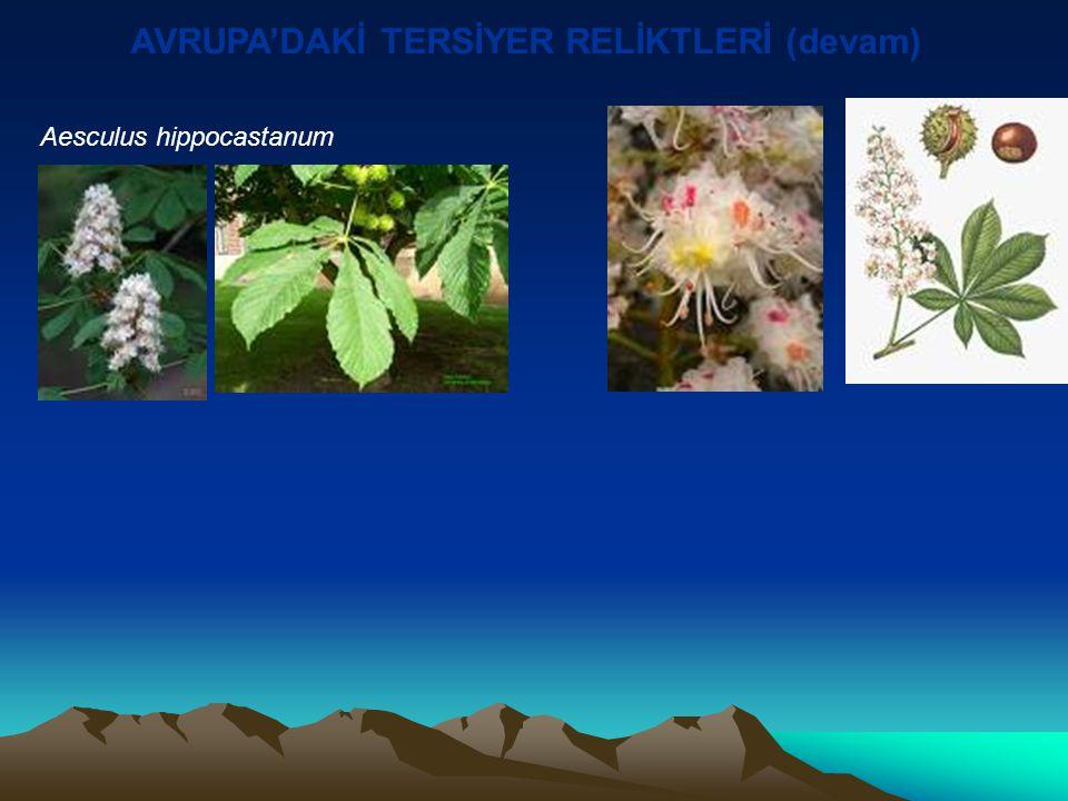 AVRUPA'DAKİ TERSİYER RELİKTLERİ (devam ) Ostrya carpinifolia