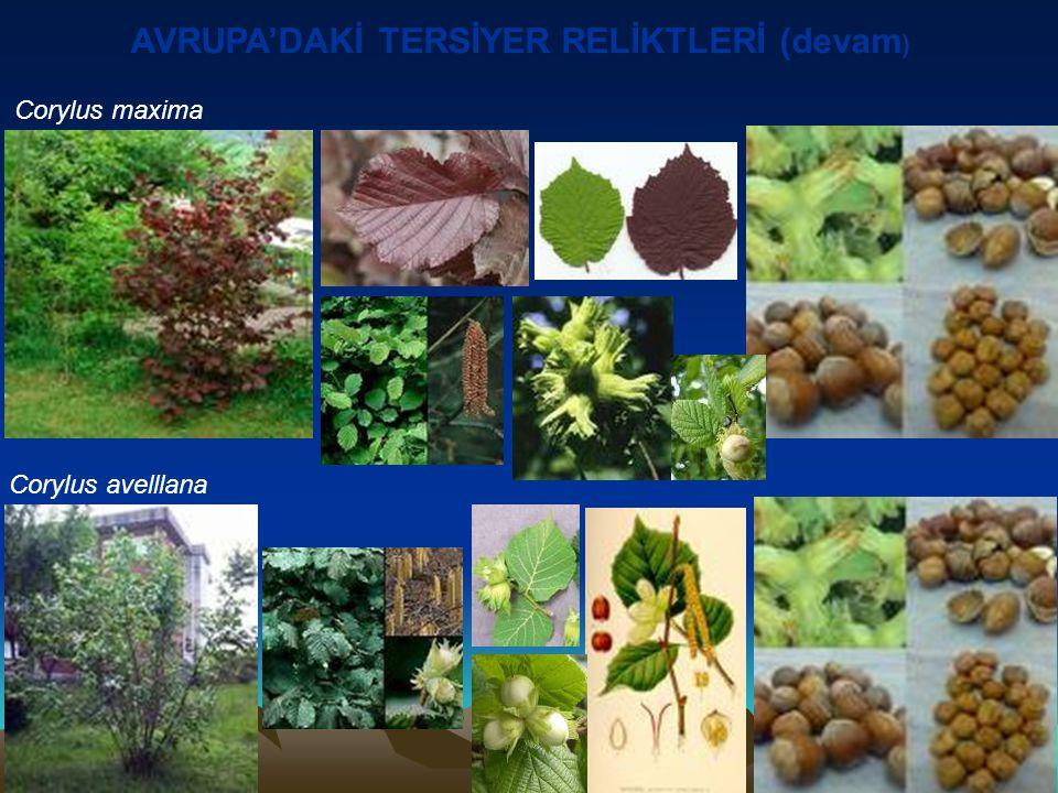 AVRUPA'DAKİ TERSİYER RELİKTLERİ (devam ) Corylus maxima Corylus avelllana