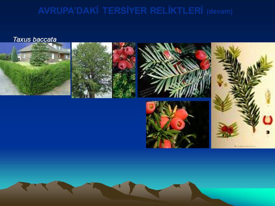 Taxus baccata AVRUPA'DAKİ TERSİYER RELİKTLERİ (devam)