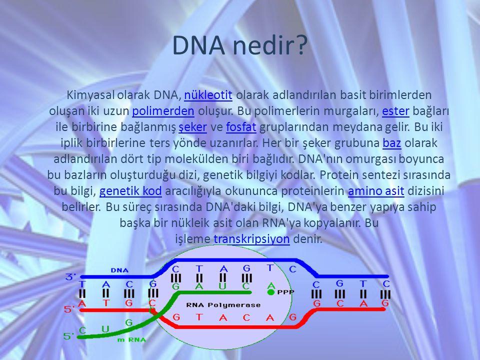 DNA nedir? Kimyasal olarak DNA, nükleotit olarak adlandırılan basit birimlerden oluşan iki uzun polimerden oluşur. Bu polimerlerin murgaları, ester ba