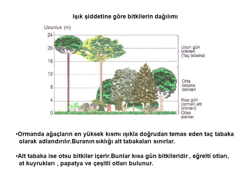•Ormanda ağaçların en yüksek kısmı ışıkla doğrudan temas eden taç tabaka olarak adlandırılır.Buranın sıklığı alt tabakaları sınırlar. •Alt tabaka ise