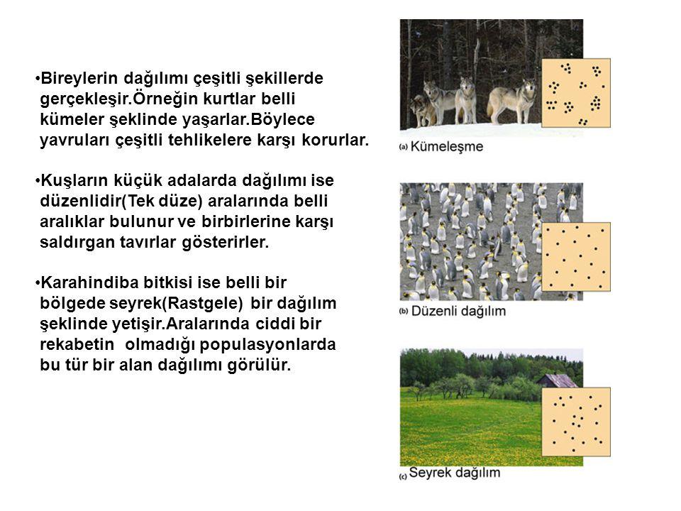 •Bireylerin dağılımı çeşitli şekillerde gerçekleşir.Örneğin kurtlar belli kümeler şeklinde yaşarlar.Böylece yavruları çeşitli tehlikelere karşı korurl