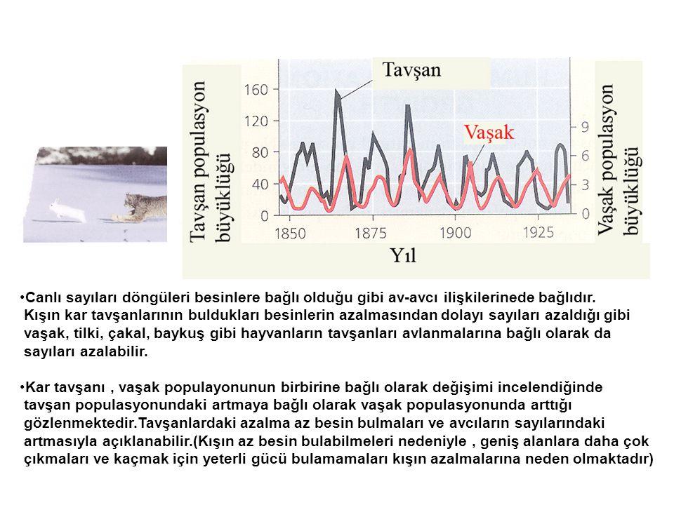 •Canlı sayıları döngüleri besinlere bağlı olduğu gibi av-avcı ilişkilerinede bağlıdır. Kışın kar tavşanlarının buldukları besinlerin azalmasından dola