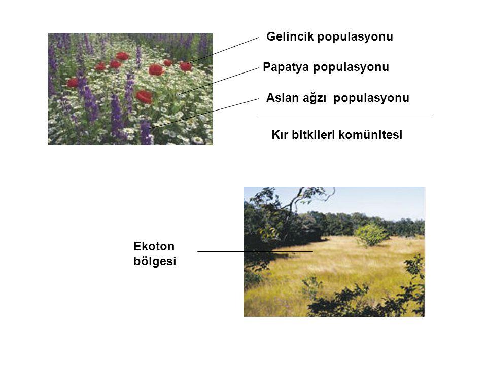 Gelincik populasyonu Papatya populasyonu Aslan ağzı populasyonu Kır bitkileri komünitesi Ekoton bölgesi
