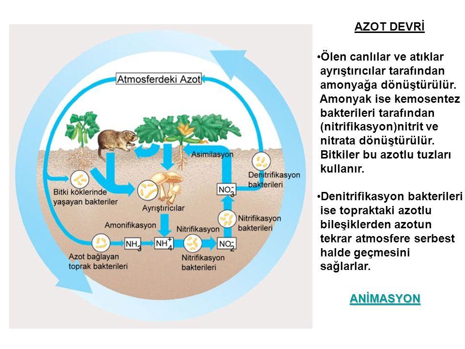 AZOT DEVRİ •Ölen canlılar ve atıklar ayrıştırıcılar tarafından amonyağa dönüştürülür. Amonyak ise kemosentez bakterileri tarafından (nitrifikasyon)nit