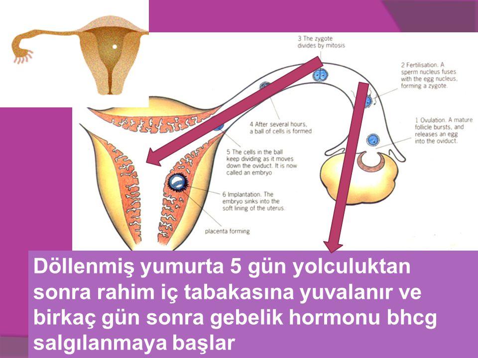 Döllenmiş yumurta 5 gün yolculuktan sonra rahim iç tabakasına yuvalanır ve birkaç gün sonra gebelik hormonu bhcg salgılanmaya başlar