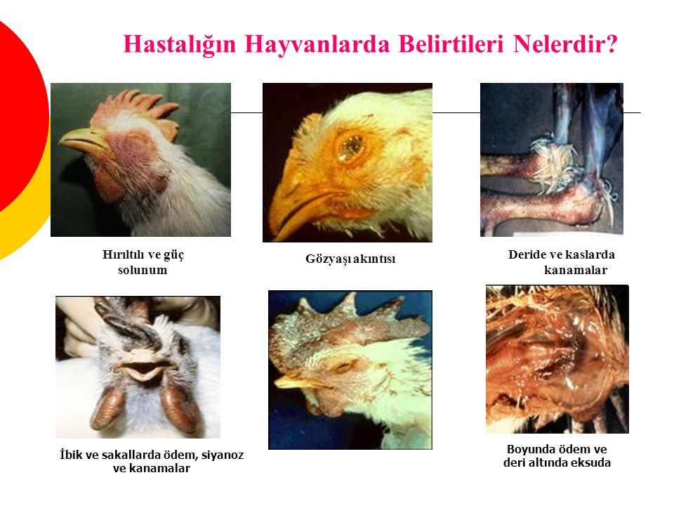 Hastalığın Hayvanlarda Belirtileri Nelerdir? Hırıltılı ve güç solunum Gözyaşı akıntısı Deride ve kaslarda kanamalar İbik ve sakallarda ödem, siyanoz v