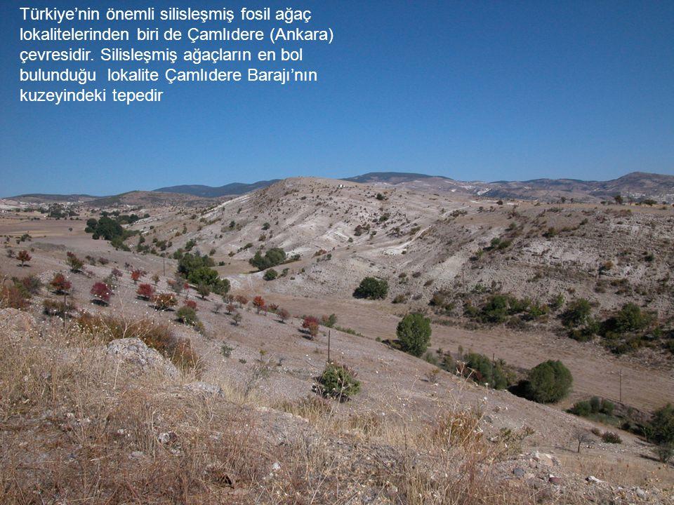 Tepedeki beyaz bölge silisleşmiş ağaç parçalarının bulunduğu zondur.