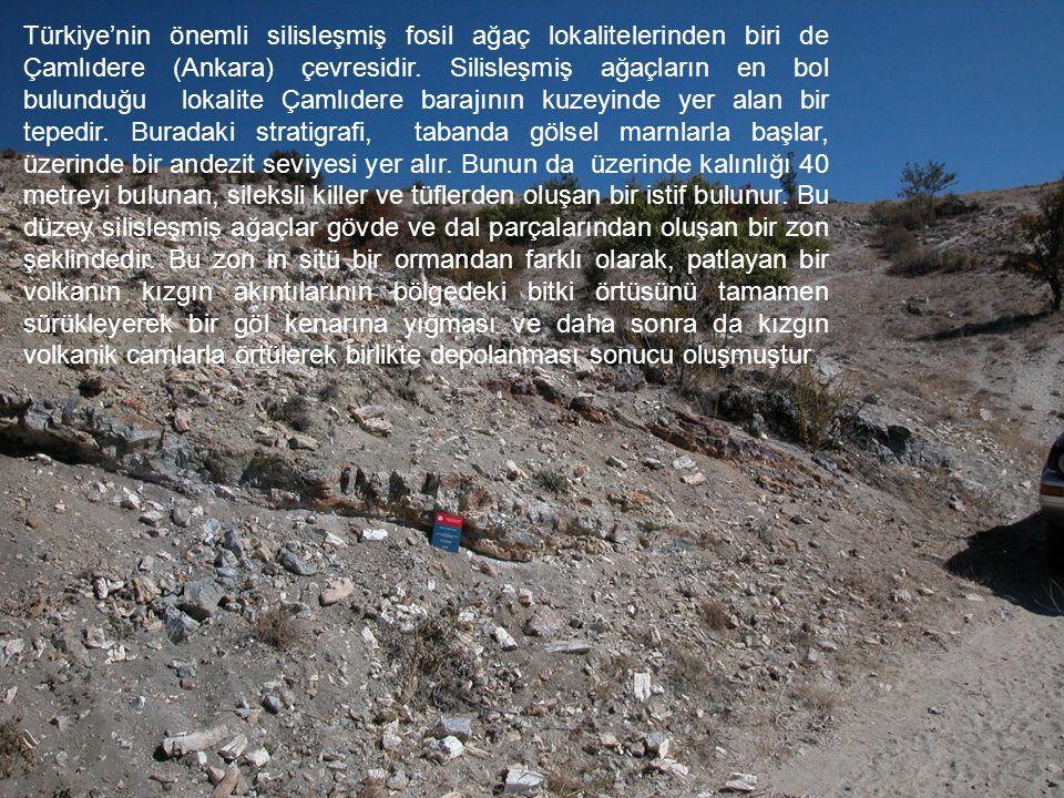 Bu fosil yığınları içinde gövde çapları 1- 4 metre arası değişen genelde Gymnosperm'lerden oluşan taksonlar çoğunluktadır.