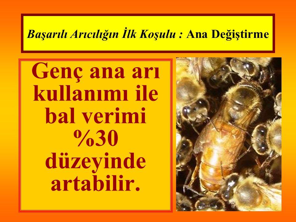 Başarılı Arıcılığın İlk Koşulu : Ana Değiştirme Genç ana arı kullanımı ile bal verimi %30 düzeyinde artabilir.