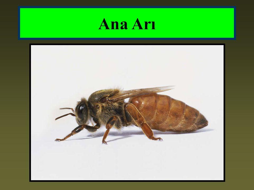 Ana Arının Önemi Ana arı çiftleşme sırasında erkek arılardan aldığı kalıtsal özellikleri, kendi kalıtsal özellikleri ile birleştirerek koloniye aktarır.
