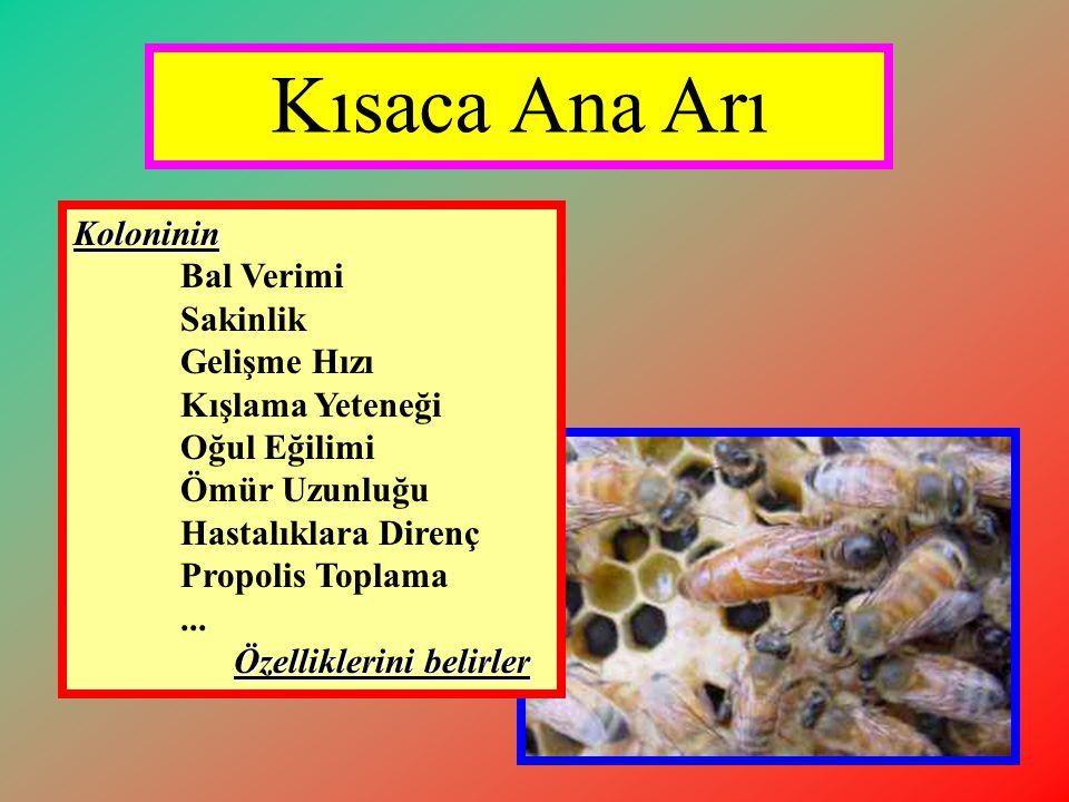 Genç Ana Arının Öneminin Yeterince Bilinmemesi •Arıcılara genç ve vasıflı ana arı kullanımının önemi konusunda eğitim ve yayım çalışmalarının sürekli olarak yapılması.
