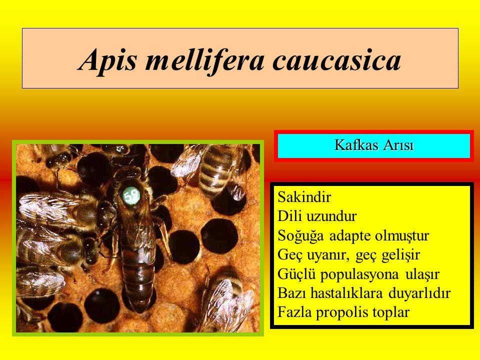 Apis mellifera caucasica Sakindir Dili uzundur Soğuğa adapte olmuştur Geç uyanır, geç gelişir Güçlü populasyona ulaşır Bazı hastalıklara duyarlıdır Fazla propolis toplar Kafkas Arısı