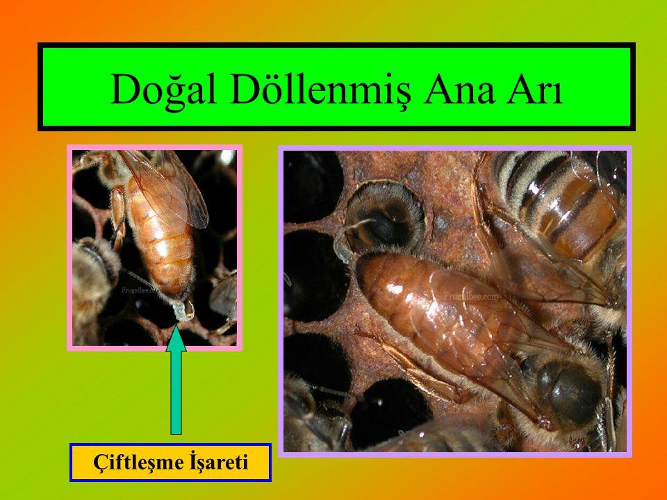 Doğal Döllenmiş Ana Arı Çiftleşme İşareti