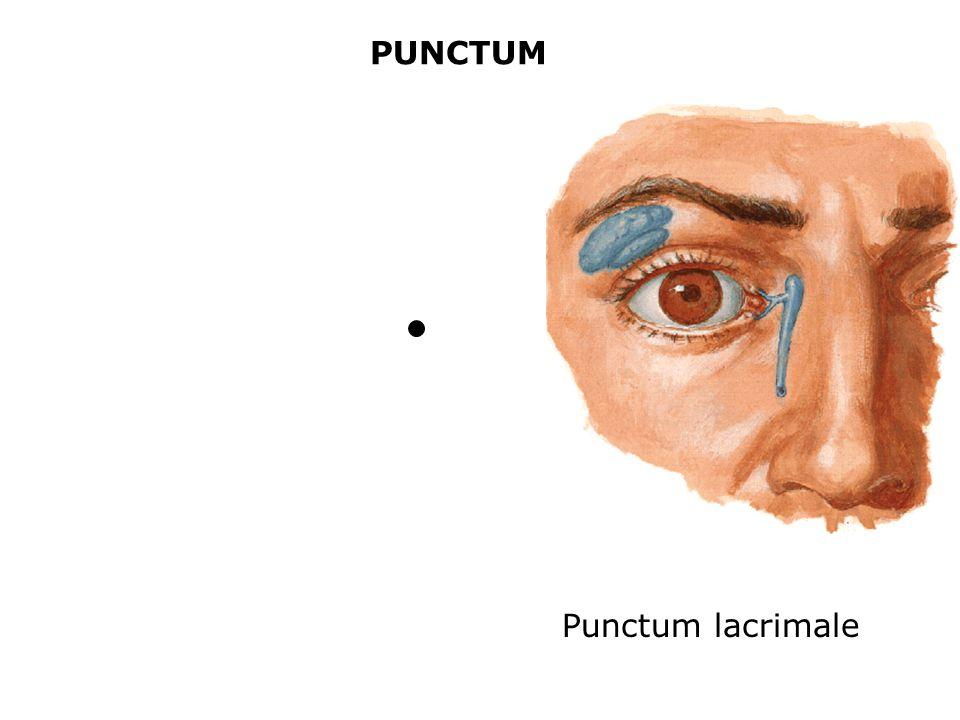 PUNCTUM Punctum lacrimale