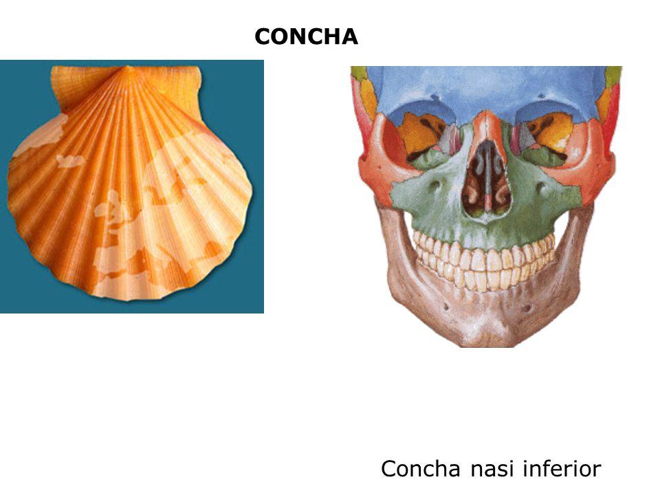 CONCHA Concha nasi inferior