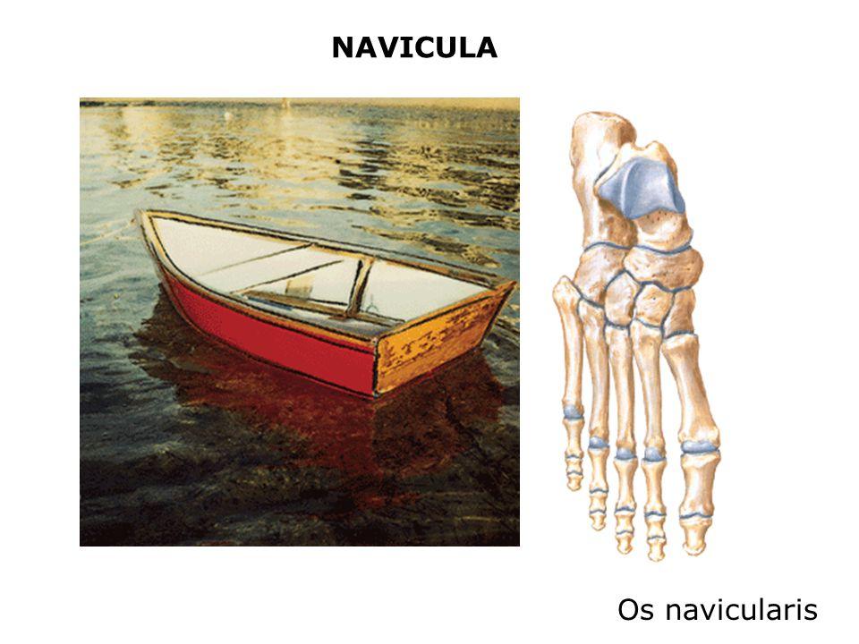 NAVICULA Os navicularis