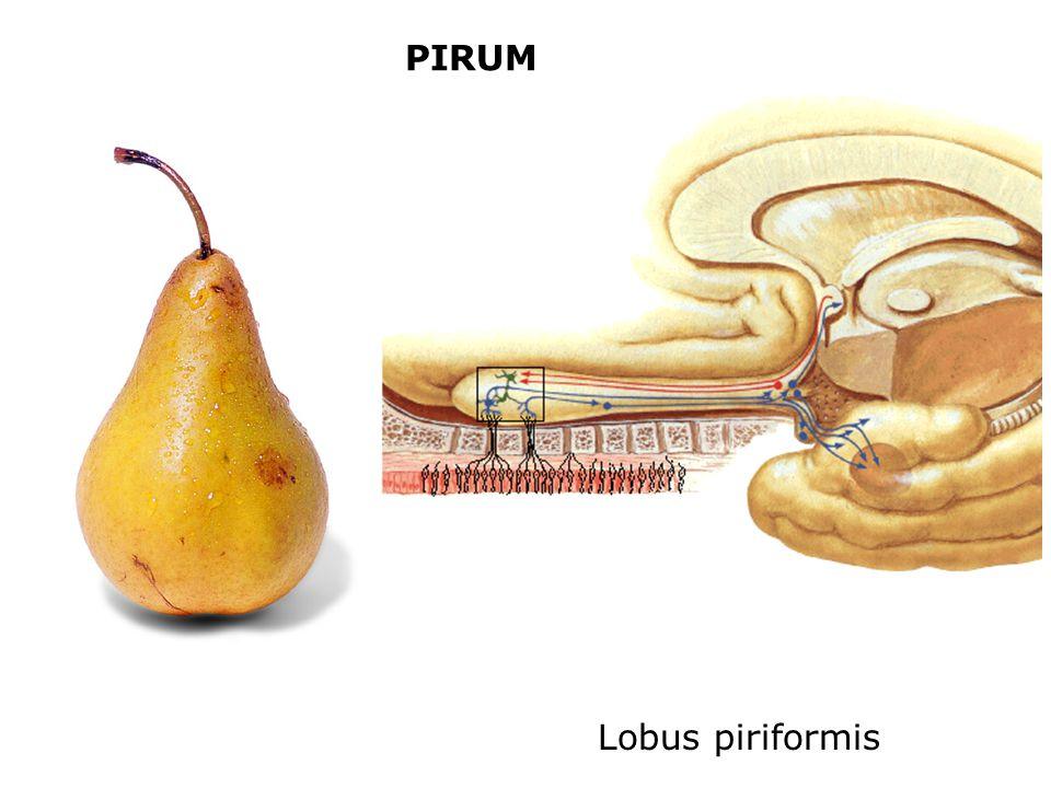 PIRUM Lobus piriformis