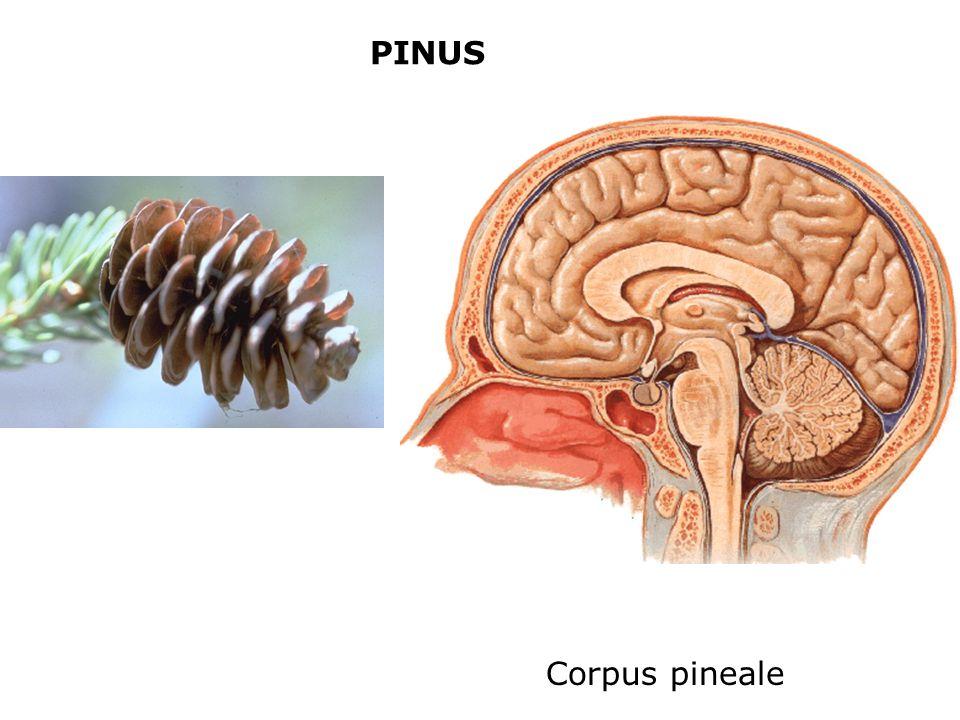 PINUS Corpus pineale
