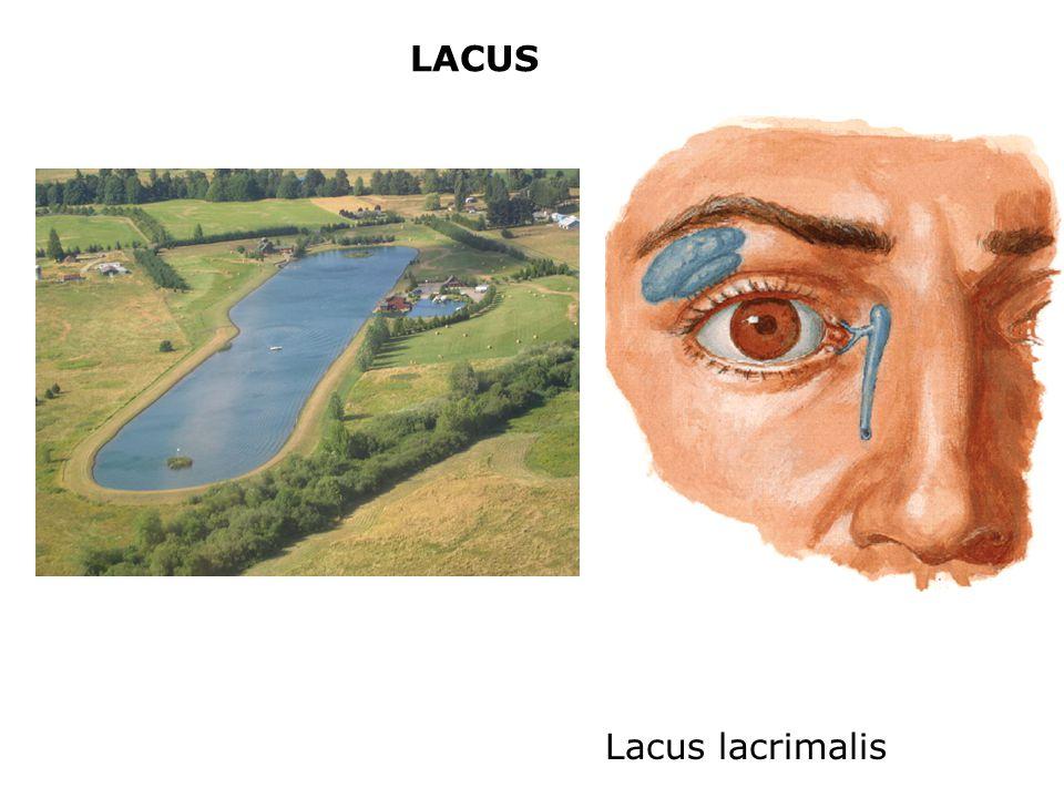 LACUS Lacus lacrimalis