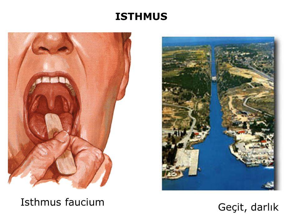 ISTHMUS Geçit, darlık Isthmus faucium
