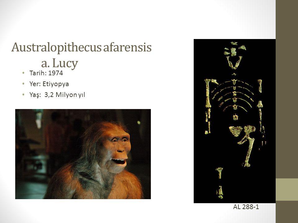 Australopithecus afarensis a. Lucy • Tarih: 1974 • Yer: Etiyopya • Yaş: 3,2 Milyon yıl AL 288-1