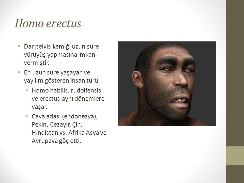 Homo erectus • Dar pelvis kemiği uzun süre yürüyüş yapmasına imkan vermiştir.