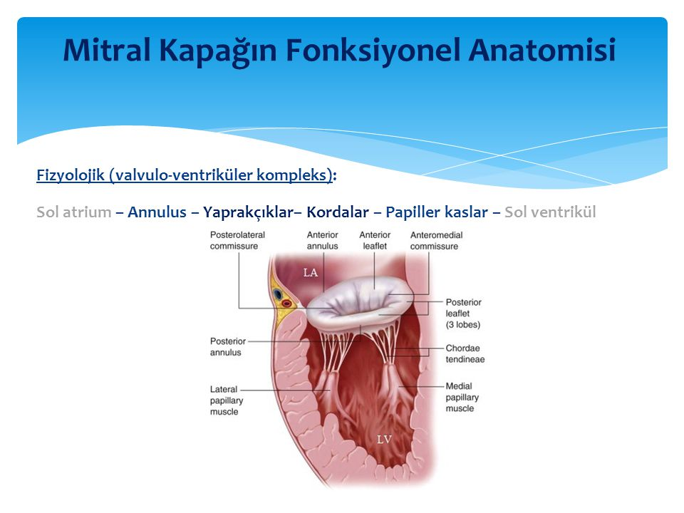 Fizyolojik (valvulo-ventriküler kompleks): Sol atrium – Annulus – Yaprakçıklar– Kordalar – Papiller kaslar – Sol ventrikül Mitral Kapağın Fonksiyonel