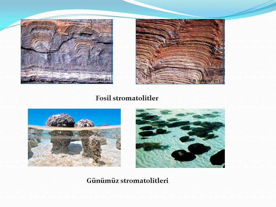 Fosil stromatolitler Günümüz stromatolitleri