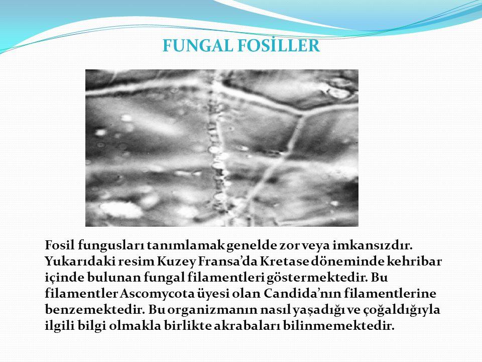 FUNGAL FOSİLLER Fosil fungusları tanımlamak genelde zor veya imkansızdır. Yukarıdaki resim Kuzey Fransa'da Kretase döneminde kehribar içinde bulunan f