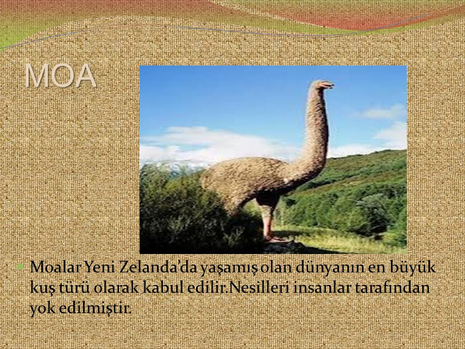 ANADOLU PANTERİ  Anadoluda yaklaşık 30 yıl öncesine kadar yaşamış olan bir ırkıdır.