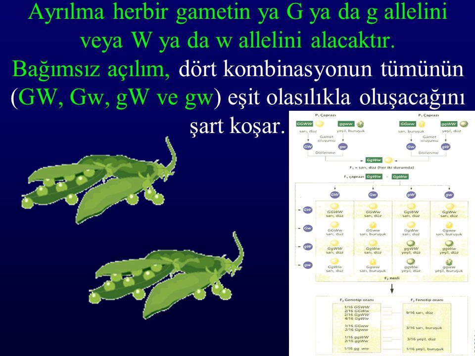 Ayrılma herbir gametin ya G ya da g allelini veya W ya da w allelini alacaktır. Bağımsız açılım, dört kombinasyonun tümünün (GW, Gw, gW ve gw) eşit ol
